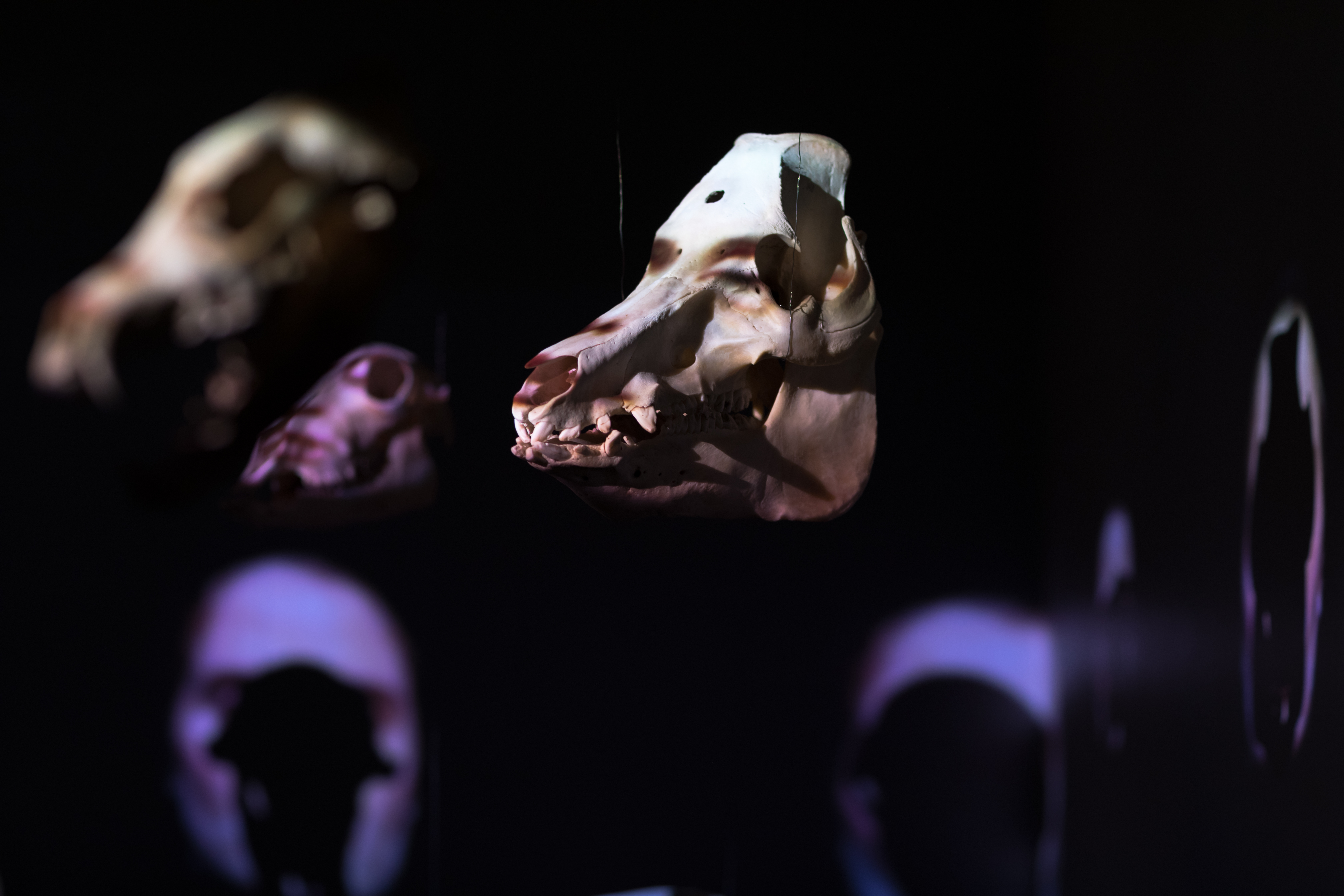 Cranium choir use skulls from Stavanger Museum collections, here tame pig. Photo: Oddbjørn Erland Aarstad / MUST.